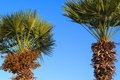 Two date palm against the bright blue sky Royalty Free Stock Photo