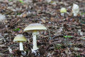 Two Deadly poisonous fungus Amanita phalloides commonly known as Royalty Free Stock Photo