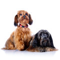 Two decorative doggies dogs puppies of the petersburg orchid on a white background Stock Photos