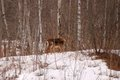 Two deer looking from a distance in wintertime in the snowy woods of new brunswick canada Stock Photo