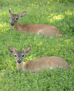 Two deer in a meadow with flowers Royalty Free Stock Photo