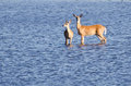Two Deer Wading Out into the Water Royalty Free Stock Image