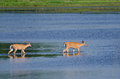 Two deer wading out into the water shallow blue Stock Photo