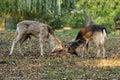 Two deers Stock Photos
