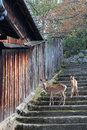 Two deers are going down a stone staircase japan in miyajima on april Stock Photography