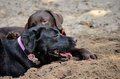 Two dirty labradors view of friendship betwin Royalty Free Stock Photos