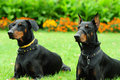 Two doberman Royalty Free Stock Photography