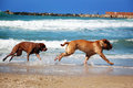 Two dog chase each other on the beach Royalty Free Stock Image