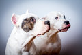 Two dogo argentino in studio Royalty Free Stock Photo