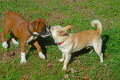 Two dogs chewing on the same stick boxer and mixed breed Stock Photo