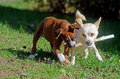 Two dogs chewing on the same stick boxer and mixed breed Stock Images