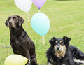 Two dogs and colourful balloons a labrador a collie sit at the ready amongst stare into the distance waiting for the party to Royalty Free Stock Photos