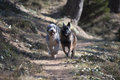 Two dogs competing who is faster Royalty Free Stock Photo