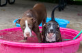 Two dogs cool off at the dog park Royalty Free Stock Photo