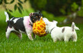 Two dogs engaged in play a chihuahua puppy holds his own against an adult dog during playtime Stock Image