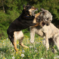 Two dogs fighting with each other in yellow flowers and past blossom dandelions Stock Image