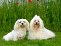 Two dogs, grass and flowers Stock Photo