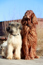 Two dogs irish setter and briard Stock Photo