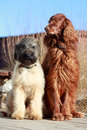 Two dogs irish setter and briard Royalty Free Stock Image