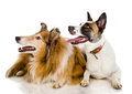 Two dogs look to the left isolated on white background Royalty Free Stock Photo