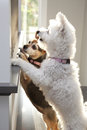 Two dogs looking out of the window Royalty Free Stock Photo