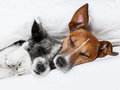 Two dogs in love sleeping together bed Royalty Free Stock Photo