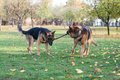 Two dogs one stick german shepherd fighting over a Royalty Free Stock Photo