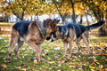 Two dogs one stick german shepherd fighting over a Royalty Free Stock Images