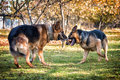 Two dogs one stick german shepherd fighting over a Stock Image