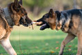 Two dogs one stick german shepherd fighting over a Stock Photo