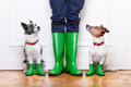 Two dogs and owner terrier waiting to go walkies in the rain at the front door at home Stock Photography