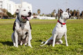Two dogs pitbull left mixed jack russel right sitting together grass urban park Stock Images