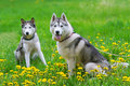 Two dogs play on a green meadow. Royalty Free Stock Photo