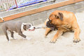 Two dogs play junior bullmastiff and puppy stafford Royalty Free Stock Image