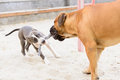 Two dogs play junior bullmastiff and puppy stafford Stock Image