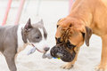 Two dogs play junior bullmastiff and puppy stafford Royalty Free Stock Photography