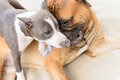 Two dogs play junior bullmastiff and puppy stafford Royalty Free Stock Photo
