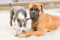 Two dogs play junior bullmastiff and puppy stafford Royalty Free Stock Photos