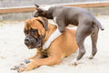 Two dogs play junior bullmastiff and puppy stafford Royalty Free Stock Images