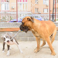 Two dogs play junior bullmastiff and puppy stafford Stock Images