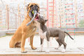 Two dogs play junior bullmastiff and puppy stafford Stock Photo