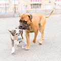 Two dogs play junior bullmastiff and puppy stafford Stock Photography