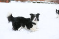 Two Dogs playing in snow Royalty Free Stock Photo