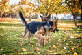 Two dogs playing with a stick german shepherd fighting over Stock Photography