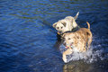 Two dogs playing together in the river Royalty Free Stock Photo