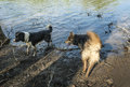 Two Dogs playing in water Royalty Free Stock Photo