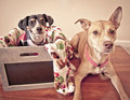Two dogs posing for christmas photos Royalty Free Stock Images