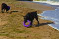 Two dogs Rottweiler in the water by the sea playing Royalty Free Stock Photo