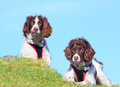 Two dogs search and rescue both wearing a harness sitting on a green hill against a blue sky practicing techniques in the welsh Royalty Free Stock Photos