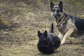 Two dogs shepherd dog tack sharp in background in alert position and scottish terrier blurrred in foreground outdoor shot Stock Photo